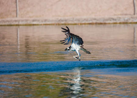 Osprey taking off with a recent catch of fish Stock Photo