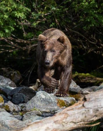Alaskan brown bear walking down the creek Stock Photo