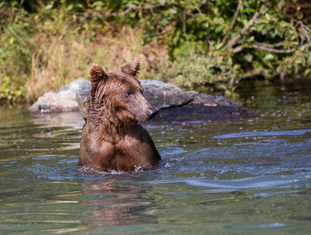 Coastal Brown Bear in the water Stock Photo