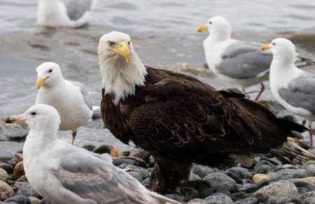 Bald eagle at the beach with the gulls waiting for fish Stock Photo
