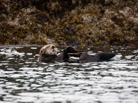 Sea otter in the gulf of Alaska on his back Reklamní fotografie