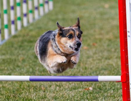 Corgi dog going over a jump at agility