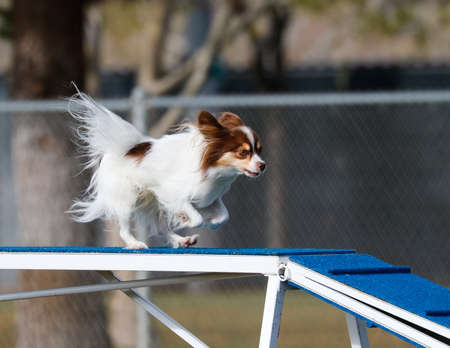Small dog on the dog walk in agility