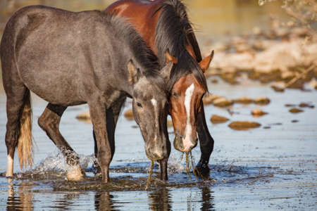 Two wild horses eating eel grass