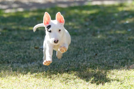 Bull terrier puppy running across the grass getting airborne