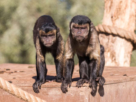 Two Capuchin monkeys staring down a crowd who came to watch them Banco de Imagens