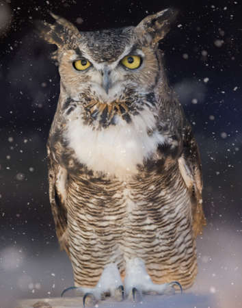 Great horned owl sitting out in the winter snow Stock Photo