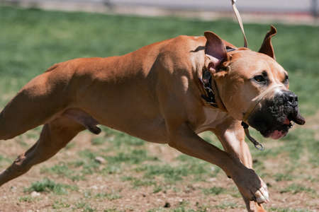 Pitbull in a full run with a nose halter on Stock Photo