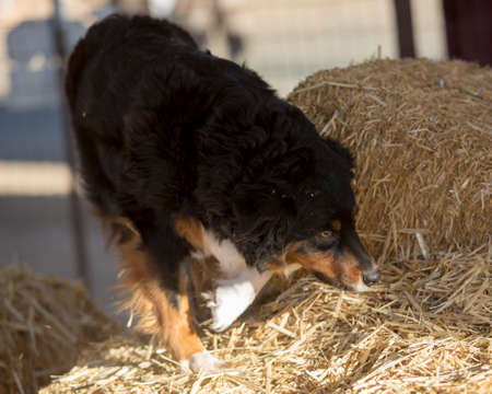 Australian Shepherd searching for a rat in the bales of hay
