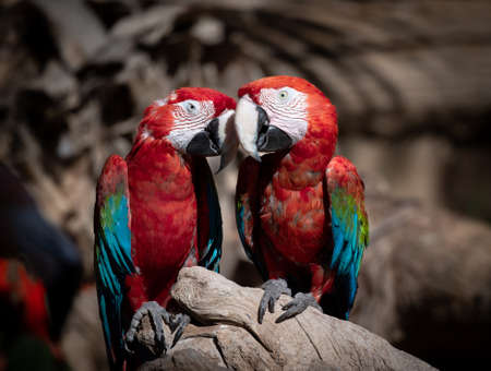 Two macaws snuggling on a tree branch Stock Photo
