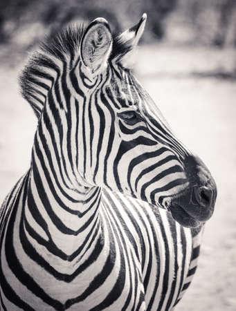 Headshot, black and white portrait of a zebra