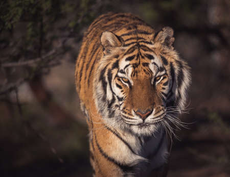 Close up portrait of a tiger in early light Фото со стока
