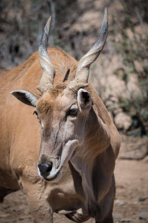 Eland, largest of the antelope family Stock Photo