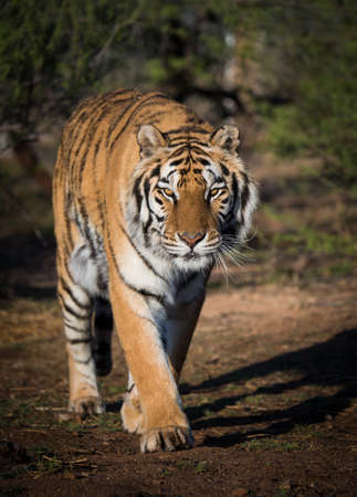 Tiger walking down a path in morning light