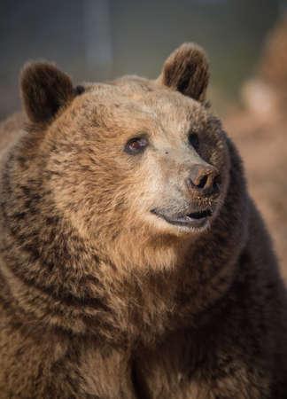 Grizzly bear head shot portrait