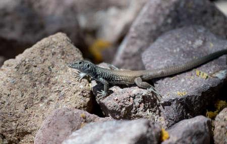 Desert lizard posing on a rock