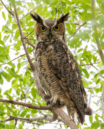 Great horned owl posed in a tree for a natural portrait Фото со стока