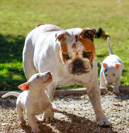 Bulldog with two bull terrier puppies 写真素材