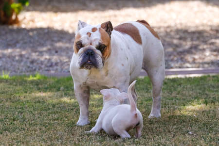 Bull terrier puppy doing a play bow to get the bulldog to play 写真素材