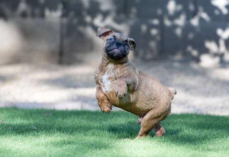 Blind bulldog puppy jumping and playing