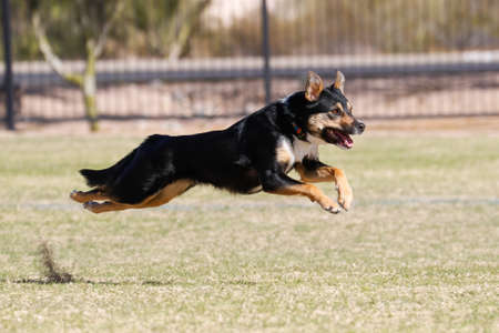 Dog leaping through the air while running through the park