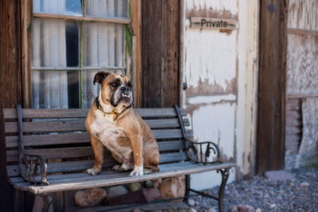 Bulldog posed on a bench in a ghost town Imagens