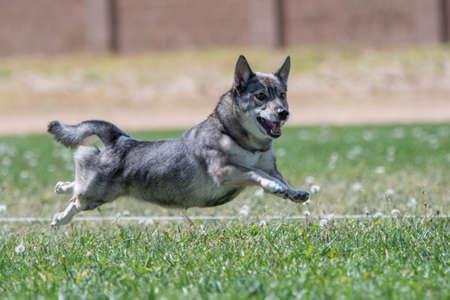 Swedish Vallhund on the lure course Stockfoto