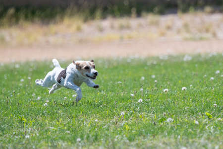 Jack Russell Terrier chasing a lure in fast cat