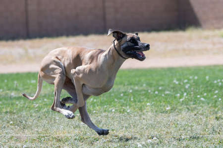 Great Dane running in fast cat lure course