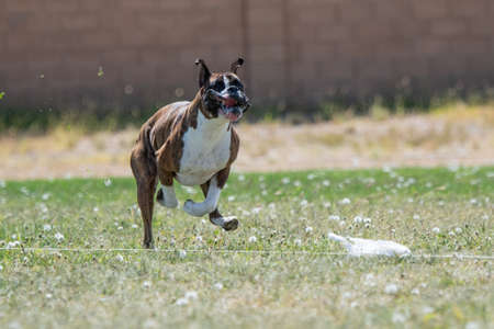 Boxer with his lips flapping chasing a lure in fast cat Stockfoto