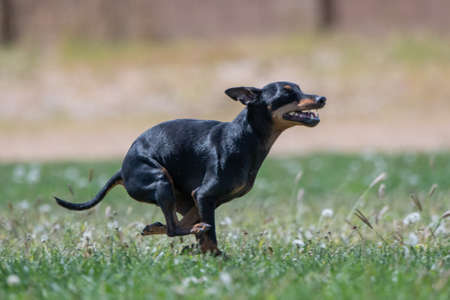 Small black dog running in the grass after a lure Stockfoto