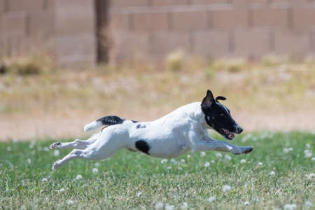 Fox Terrier on a lure course