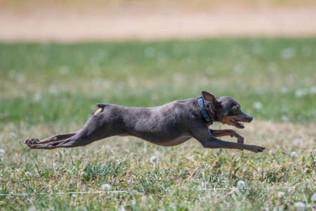 Italian Greyhound running after a lure