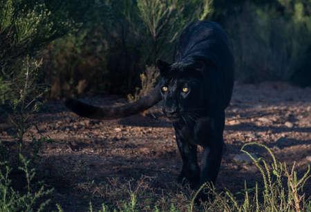 Leopardo nero con occhi gialli luminosi nella boscaglia Archivio Fotografico