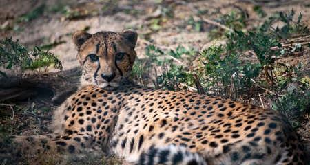 Cheetah lying in the grass posing for a portrait