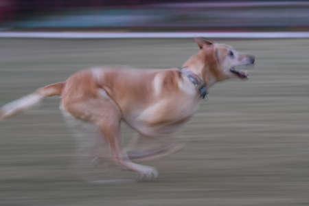 Labrador Retriever in motion blur running photo Stockfoto