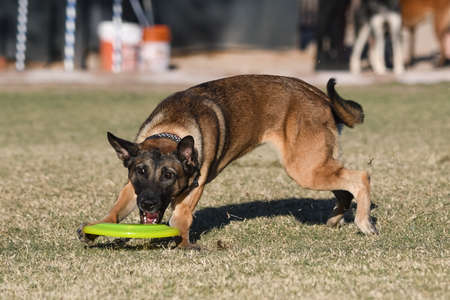 Dog playing toss and fetch disc