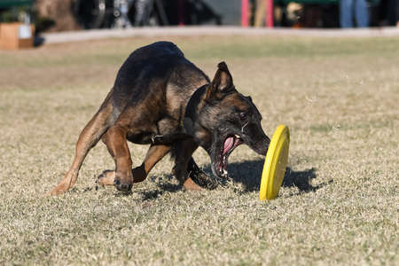 Malinois dog trying to grab a disc on the grass