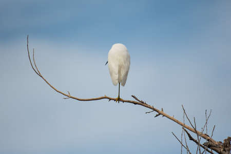 Egret with his back to the camera on a branch
