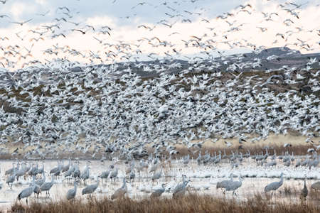 Flock of snow geese blasting off from a winter lake with a slow shutter speed for intentional blur 版權商用圖片