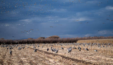 Many birds at the Bosque del Apache wildlife refuge in New Mexico