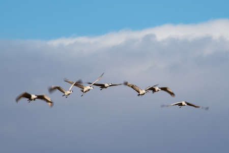 Flock of sandhill cranes high in the clouds