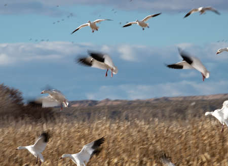 Blurred wings of snow geese landing in a corn field