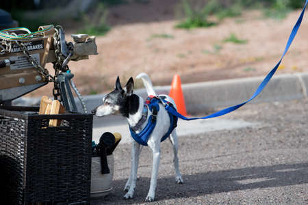 Rat terrier checking for odor during a scent test