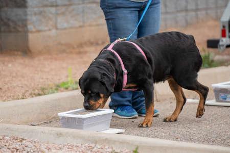Rottweiler auf der Suche nach einem Geruch in einem vergrabenen Behälter