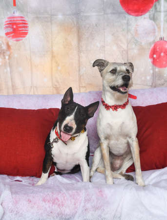 Bull terrier and a friend posing for a Christmas portrait Imagens