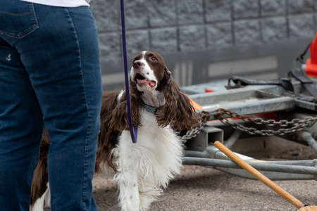 Springer spaniel looking to handler to signal an alert on an odor