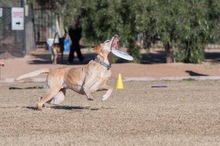 Yellow Labrador Retriever catching a disc Stockfoto