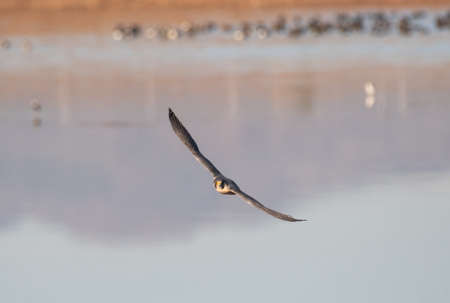 Peregrine Falcon banking a turn over water
