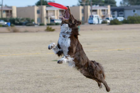 Australian shepherd jumping to catch a disc